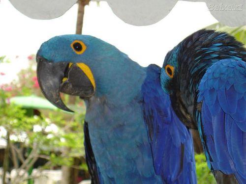 arara-azul2