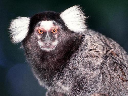 mico-estrela